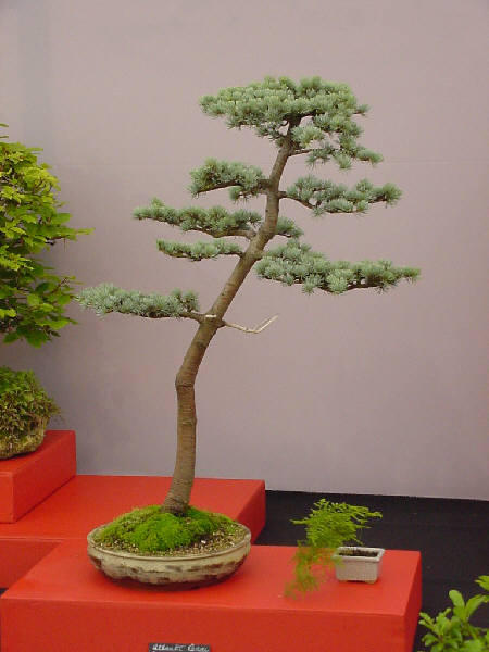 bonsai tree picture
